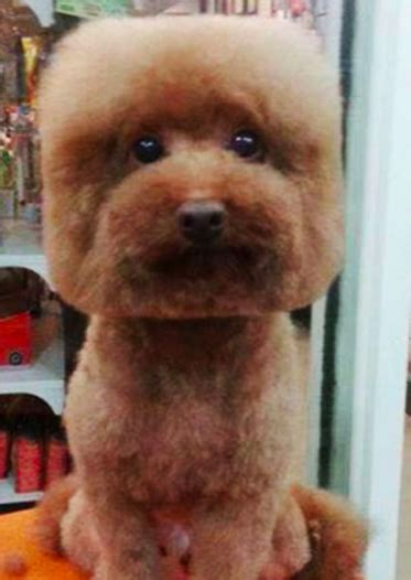dog haircuts gone wrong grooming gone wild dog haircuts funny pets and lions