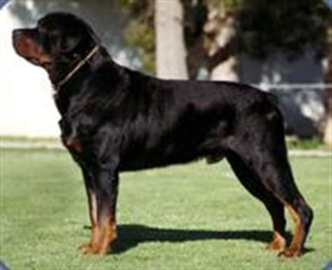 average age of a rottweiler australian breeds gallery breeds pedigree