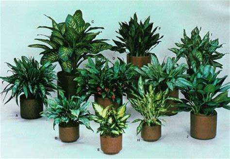 plants that do well in low light these plants need low light low humidity aglaonema