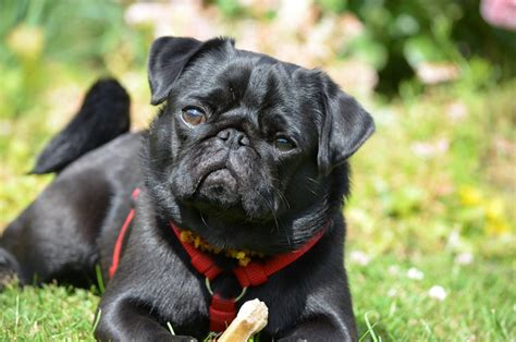 pug status are pugs hypoallergenic canna pet 174