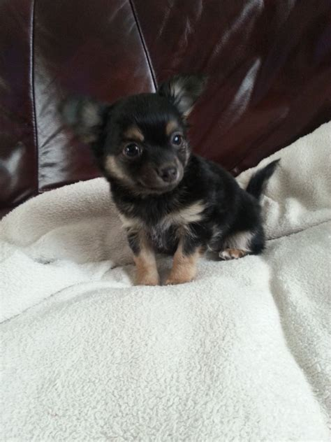 pomeranian cross for sale pomeranian cross chihuahua puppy for sale basildon essex pets4homes