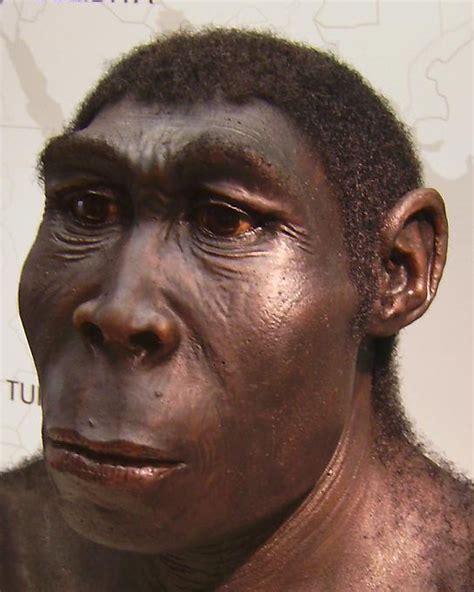 homo erectus file homo erectus new jpg wikipedia