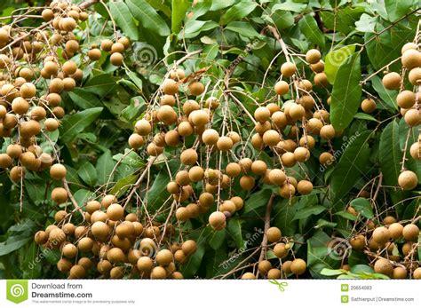 the fruit tree longan tropical fruit on the tree stock photos image