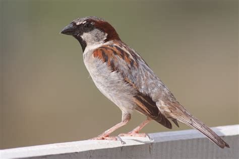 file house sparrow mar08 jpg wikipedia