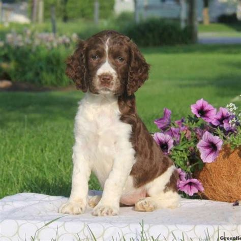 springer spaniel puppies for sale springer spaniel puppies for sale greenfield puppies