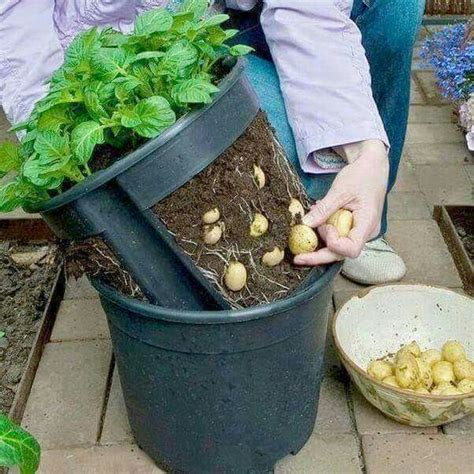 Vegetable Garden Pots Make A Potato Pot By Cutting Out The Sides Of A Plant Pot