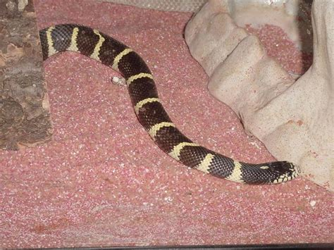 King Snake Shedding by This Is Our California Kingsnake In A Recent Shed