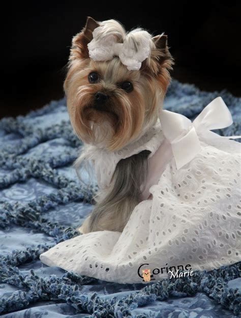 yorkie wedding 214 best images about yorkie evening wedding dress and tutu on wedding