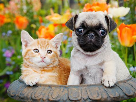 orange pug pug puppies animal stock photos kimballstock