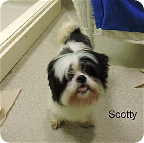 shih tzu rescue louisiana slidell la shih tzu mix meet scotty a for adoption