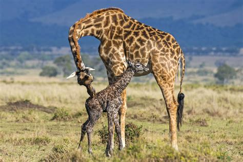how is a for before giving birth heartwarming pictures show giraffe giving birth to baby before lovingly cleaning it