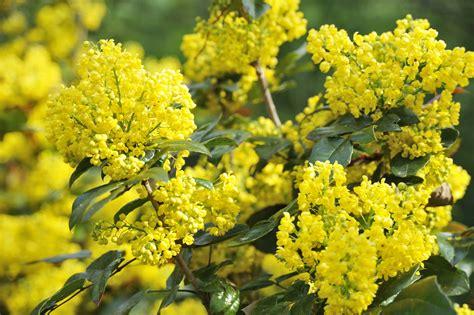 piante da giardino con fiori profumati piante profumate consigli pratici ed indicazioni tuttogreen