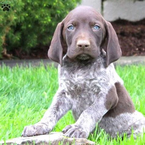 pudelpointer puppies for sale 2017 wonderful german wirehaired pointer puppies ohio ideas electrical circuit diagram
