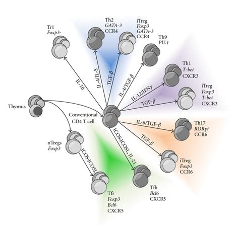 figure 1 regulatory t cell regulatory t cells and the of the allergic