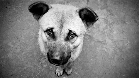 the hungry puppy file hungry ক ষ দ ধ র ত ক ক র jpg wikimedia commons