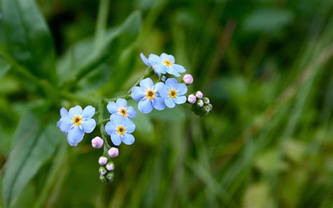 forget me not the silent eye