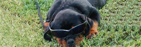 the rottweiler club the home of the nsw rottweiler club the rottweiler club of nsw