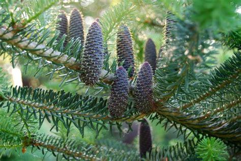 Away To Garden by Best Pine Cones A Way To Garden