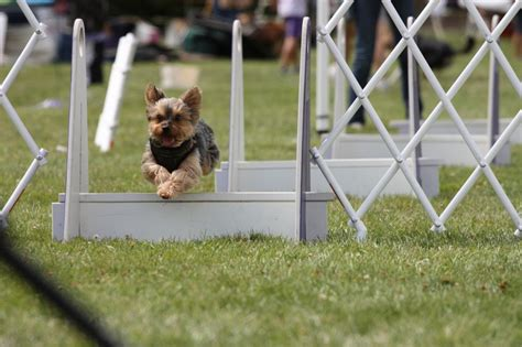 is yorkie and terrier the same terrier agility 1001doggy
