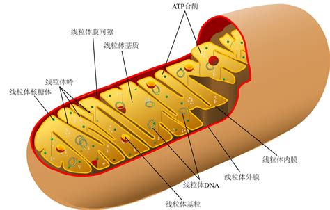 mitochondrion diagram file animal mitochondrion diagram ml svg wikimedia commons