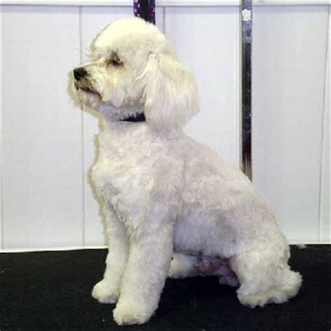poodle cuts exles exles of poodle cuts search results hairstyle galleries