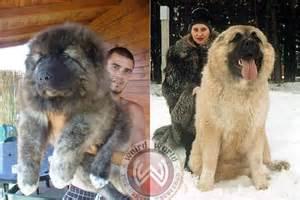 russian puppy russian caucasian mountain animal caucasian mountain dogs pets