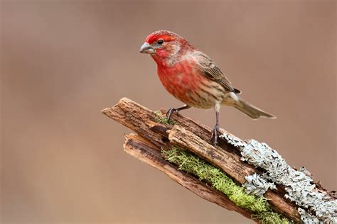 ozarks nature guide house finch