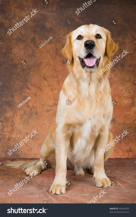 pretty golden retriever pretty golden retriever on mottled brown stock photo 49245325