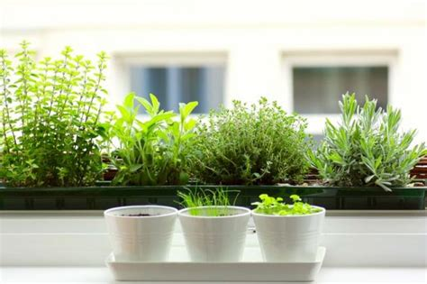 windowsill herb garden 5 quick fixes herbs for the kitchen windowsill remodelista