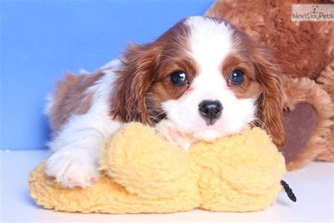 king charles cavalier puppies ohio cavalier king charles spaniel puppy for sale near columbus ohio 8b767663 27e1