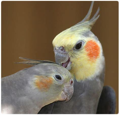 pappagallo calopsite alimentazione la calopsite le sue caratteristiche pappagalli cilento