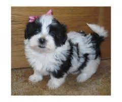 havanese puppies for sale gauteng puppies page 54 puppies for sale