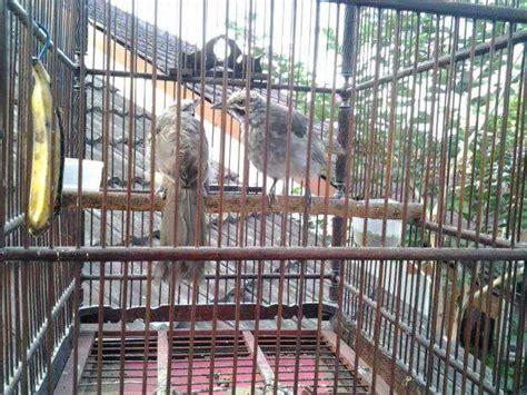 Cucak Rowo Sumatra Asli Ropel daftar harga burung terbaru 2017 daftar harga cucak rowo