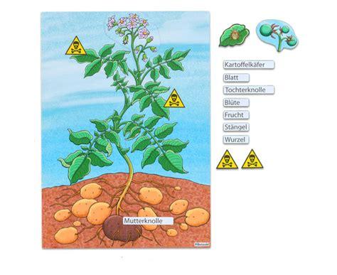 Beschriftung Kartoffelpflanze by Die Kartoffelpflanze Betzold De