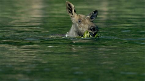 Nature S Miracle Babies Moose Of A Twig Eater Adorable Baby Moose Learns To Swim Nature Pbs