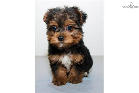 teacup yorkie columbus ohio yorkiepoo yorkie poo puppy for sale near lancaster pennsylvania pets world