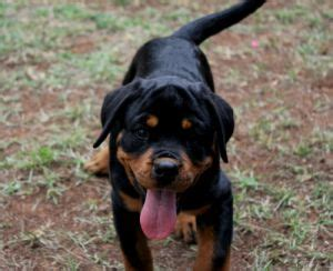 rottweiler breeders washington windy river ranch rottweilers rottweiler puppies for sale