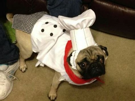 pug wearing pug costume chef pug animals wearing costumes pug and chefs
