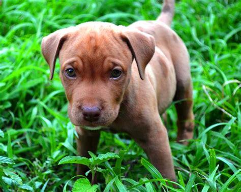 newborn pitbull puppies tyson the baby pit bull puppy teh