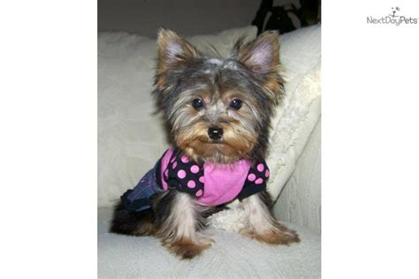 yorkshire terrier teddy bear cut teddy bear yorkie haircut hairstylegalleries com