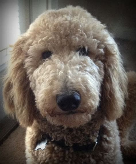 standard poodle face hair cuts 1000 images about standard poodle cuts on pinterest