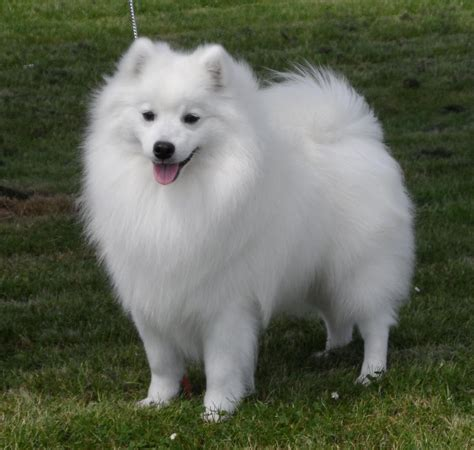 japanese spitz health tested chion japanese spitz stud only burntwood staffordshire pets4homes
