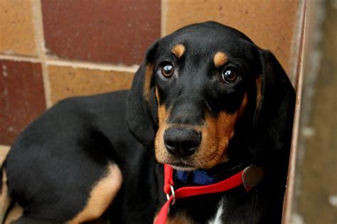 black lab puppy for sale coonhound mix puppies puppies puppy