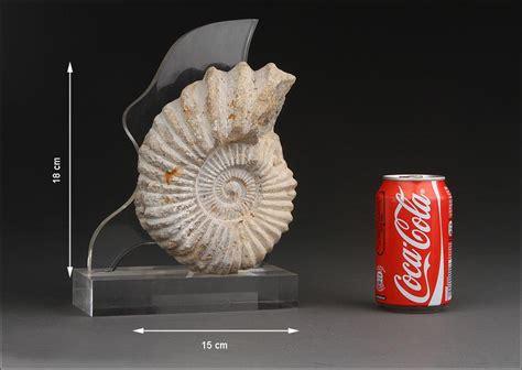 Precioso Fósil de Ammonite en Muy Buen Estado de ... J 200