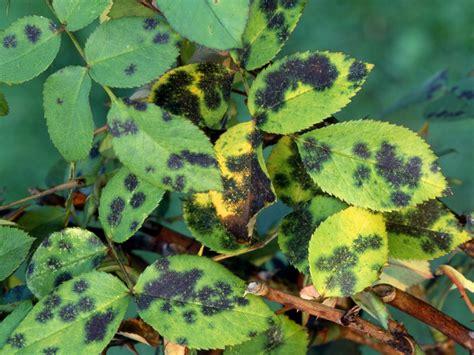 list of fungal diseases in plants preventing garden diseases hgtv