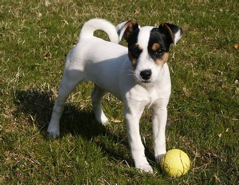 Parson Terrier Shedding parson terrier info temperament puppies pictures