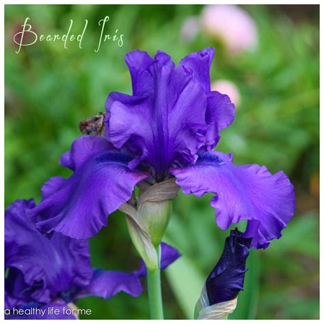 bearded iris how to plant bearded iris a healthy for me