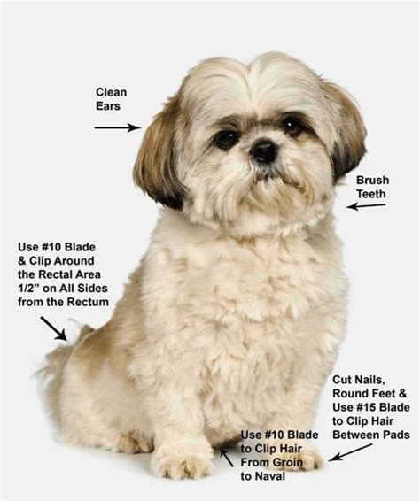 how to groom your shih tzu shih tzu grooming four dvds ebay