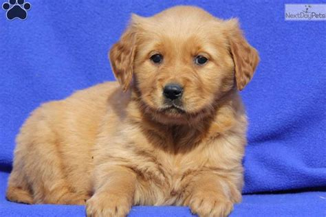 golden retriever puppies for sale near me golden retriever puppy for sale near lancaster pennsylvania de923271 ef31