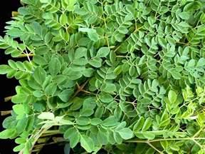 My Green Kitchen Stories - moringa amp basil pesto my delicious blog